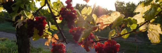 3 curiosidades sobre la cepa Gewürztraminer y sus vinos