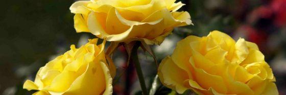 3 rosas amarillas, Raymond Carver