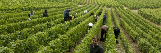 viñedo champagne laurent perrier vineyard