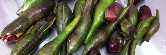chachafruto frijol de arbol cuadernos gastrobotanicos