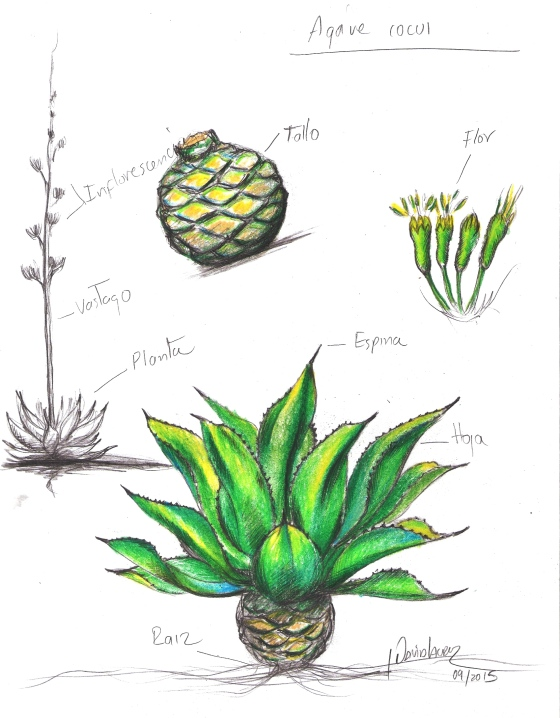 ilustracion agave cocuy trelease