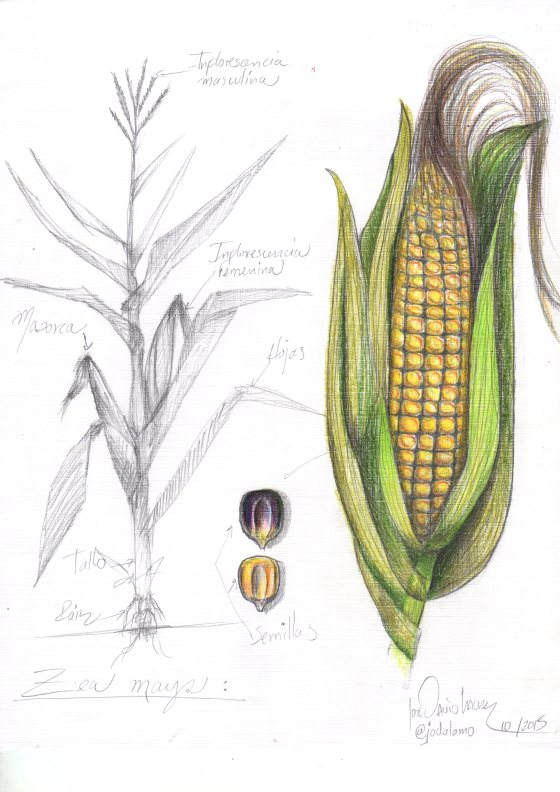 corn cobb drawing