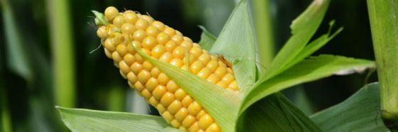 mazi mazorca corn cobb field