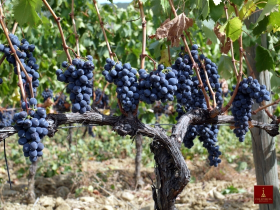 tuscany brunello grapes