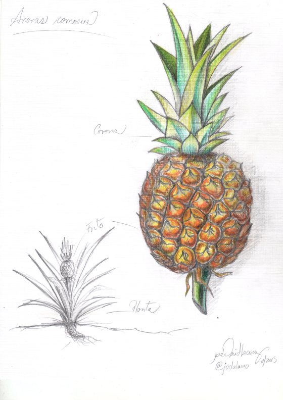 piña por jose david lacruz