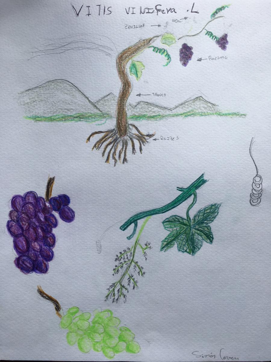 esnobgourmet-vitis-vinifera-dibujo-drawing-cuaderno-gastrobotanico